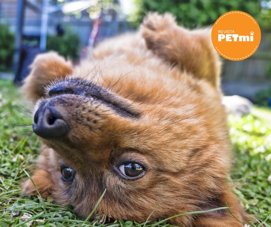 Si al mostrar su panza el perro luce nervioso o tenso lo mejor es no rascar al animal de inmediato, sino hacerlo cuando se sienta cómodo y en verdadera confianza.