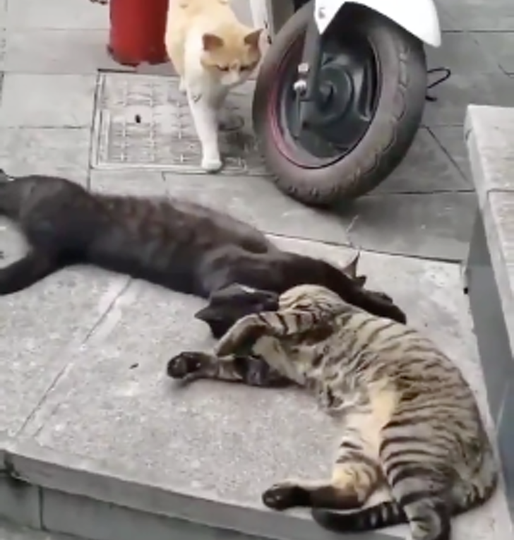 gato infiel