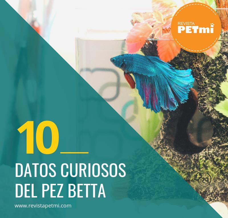 10 Datos curiosos del pez betta