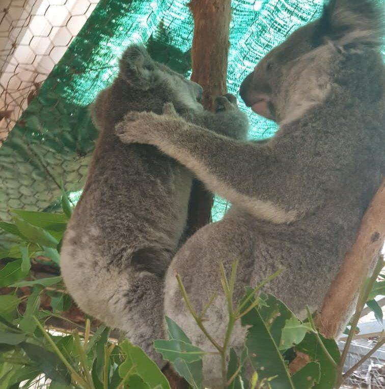 perros rescatistas salvan a koalas en Australia