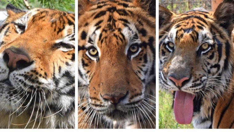 Tigres parten al Santuario Big Cats