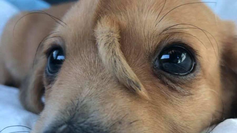 un perro beagle es conocido como el perro unicornio