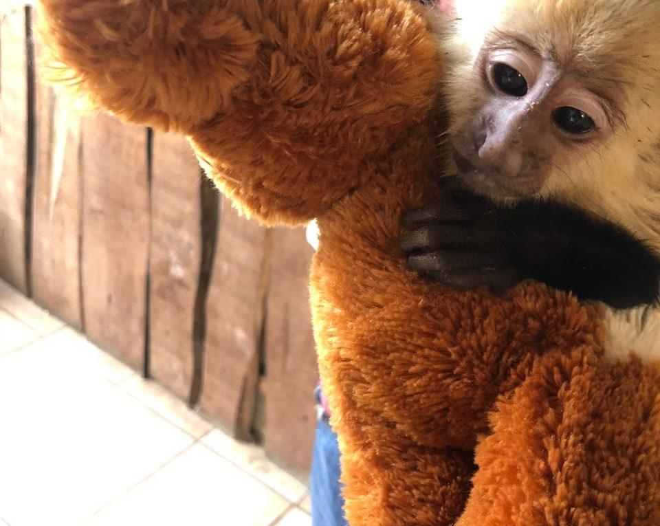 necesitan ayuda 13 monos y 2 tucanes rescatados