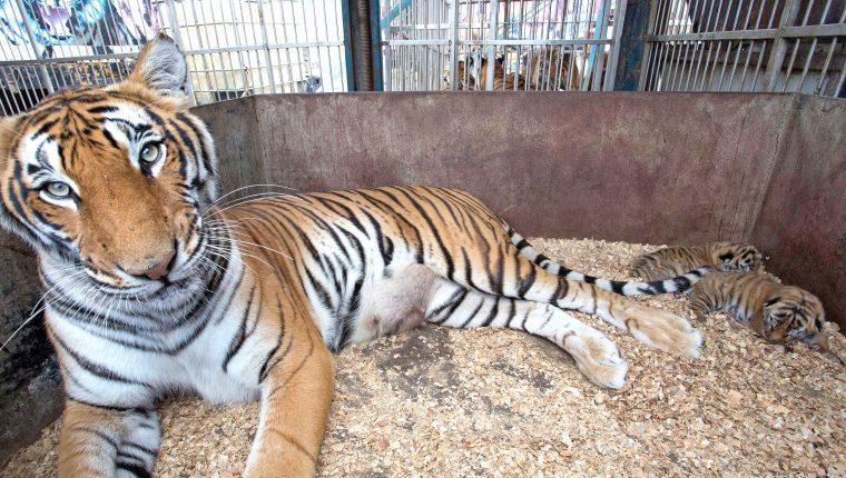 trasladan a 17 tigres y leones a un santuario en sudafrica