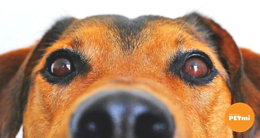 uveítis canina