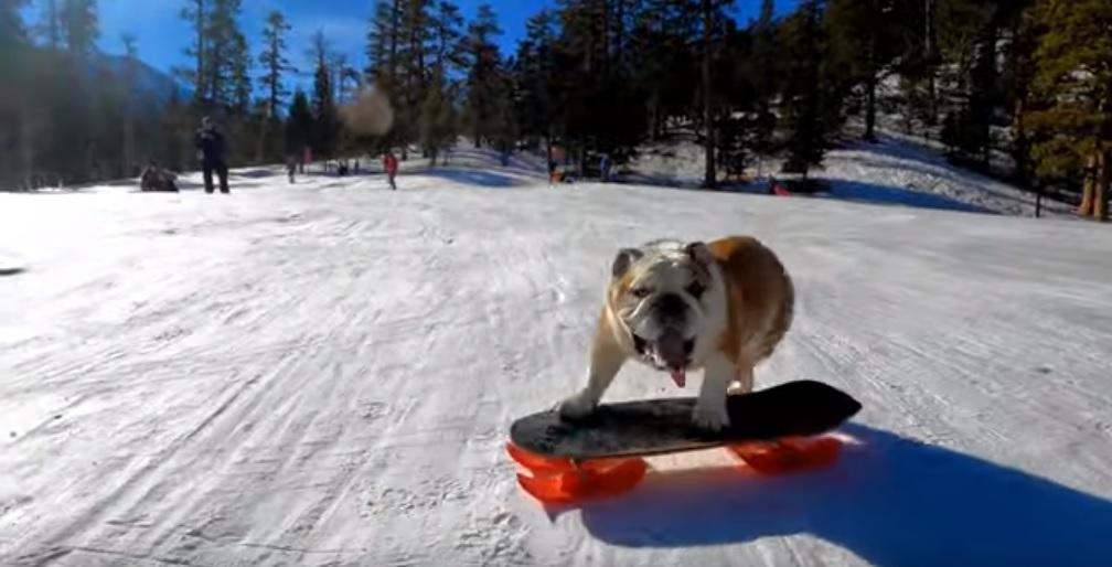george el bull dog que le encanta patinar