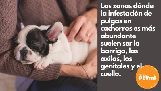 Las zonas dónde la infestación de pulgas en cachorros es más abundante suelen ser la barriga, las axilas, los genitales y el cuello.