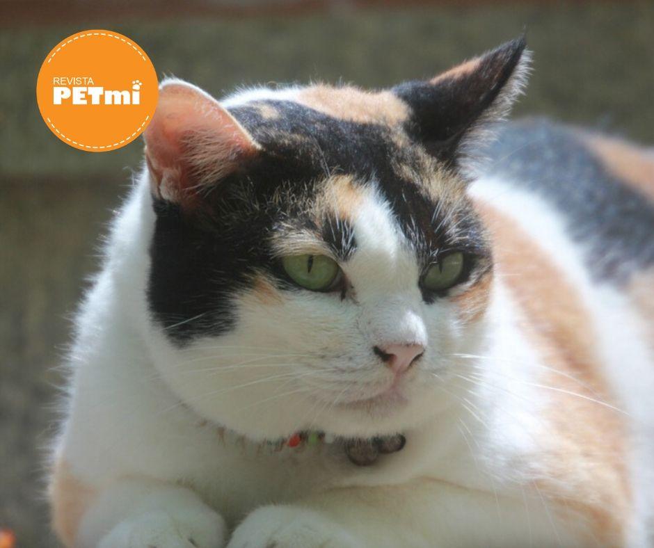 problemas alimenticios en gatos, obesidad