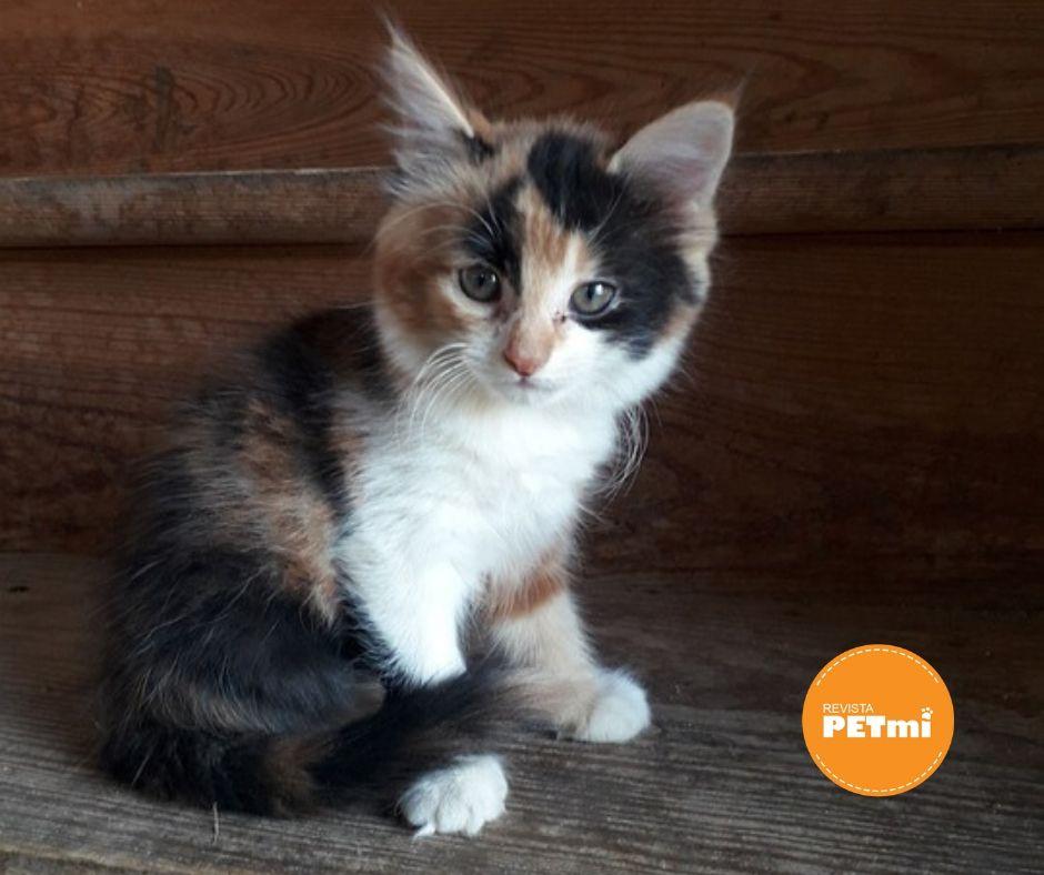 Los gatos de tricolores, en su mayoria son hembras.