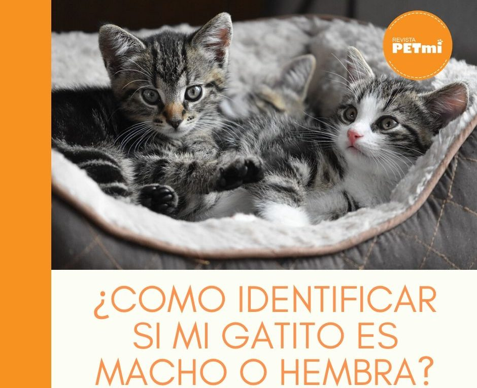 ¿Como identificar si mi gatito es macho o hembra_ (2)