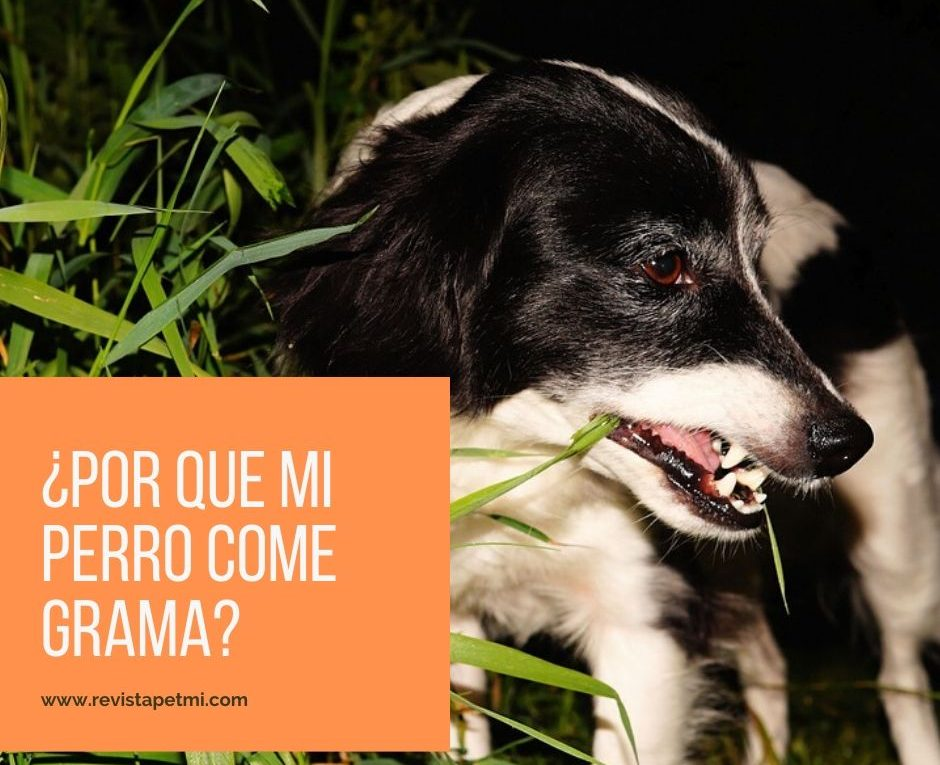 ¿mi perro come grama porque_ medico veterinario (1)