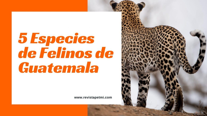 5 Especies de Felinos de Guatemala (1)