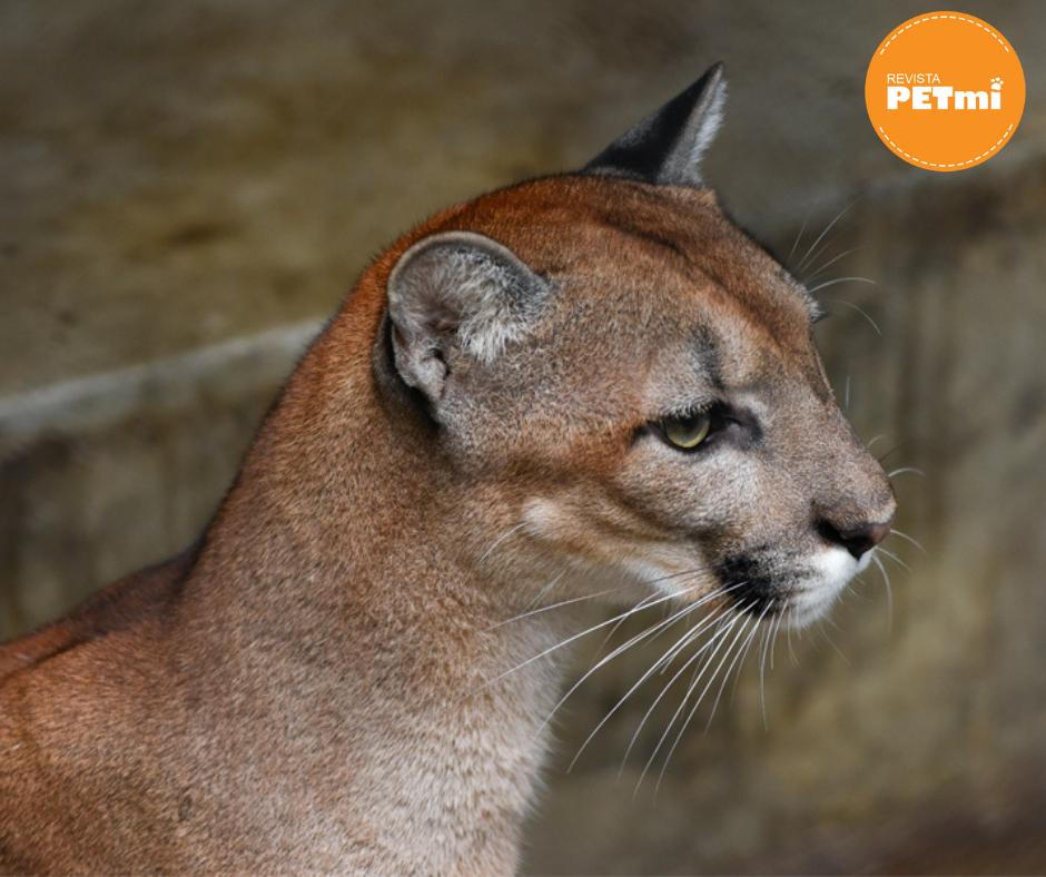 5 especies de felinos de Guatemala (puma)