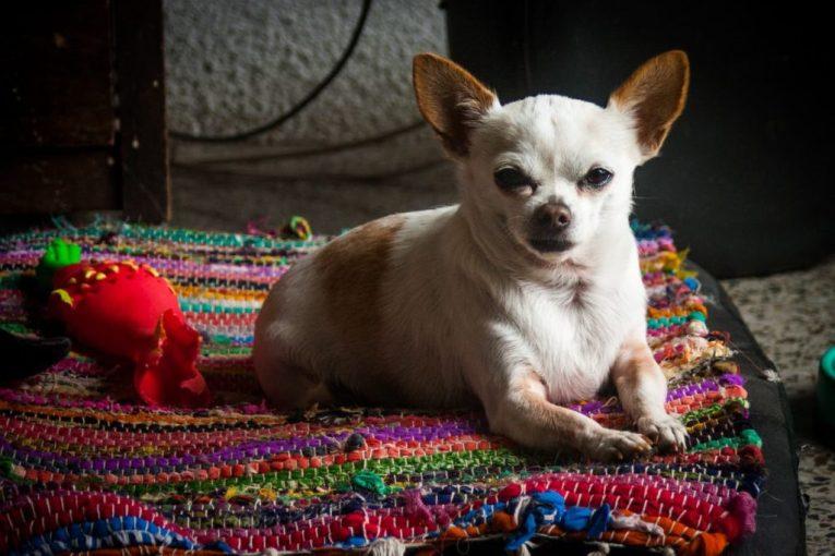 Wasabi el perro chihuahueño