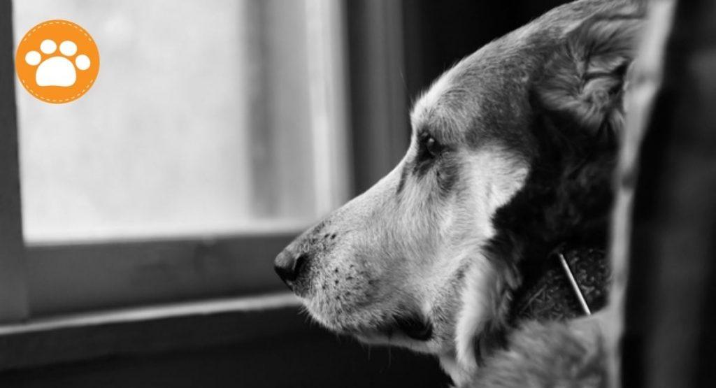 ¿Cómo tranquilizar a mi perro durante la lluvia?  NO le obligues que se quede junto a ti si no quiere, deja que se esconda debajo de la cama o de la mesa, eso le dará seguridad y no debes quitársela.