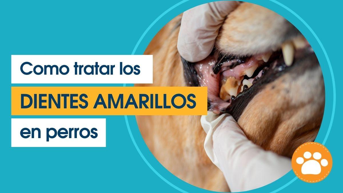 Como tratar los dientes amarillos en perros (1)