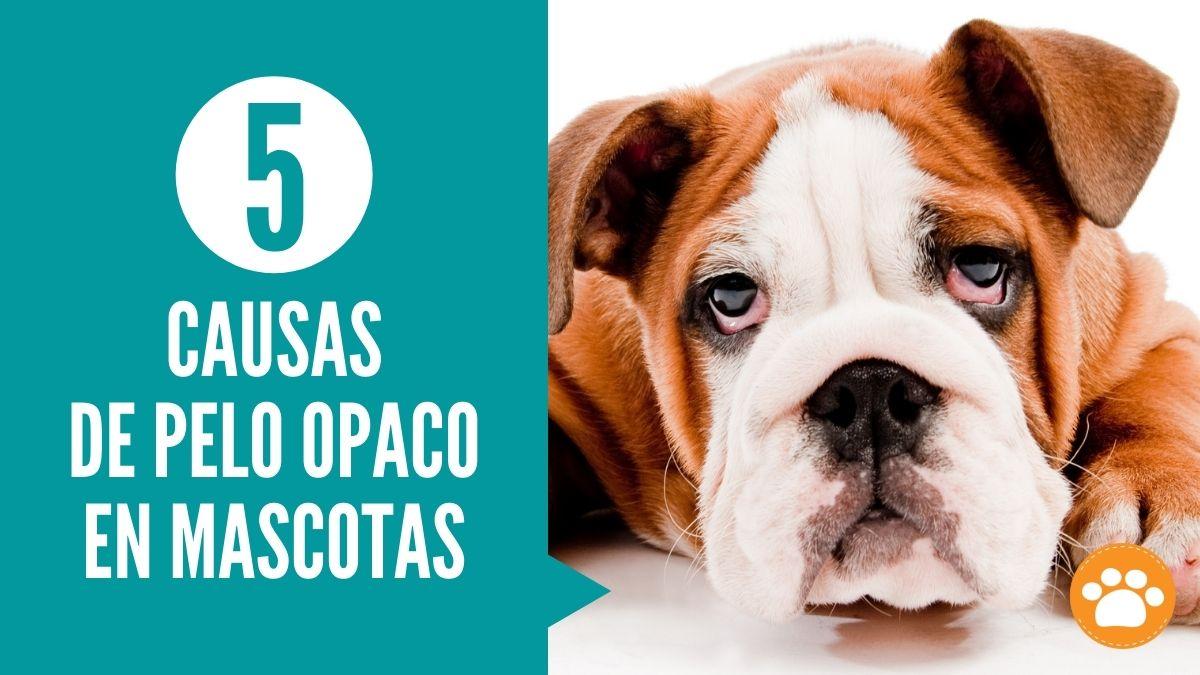 5 Causas de pelo opaco en mascotas
